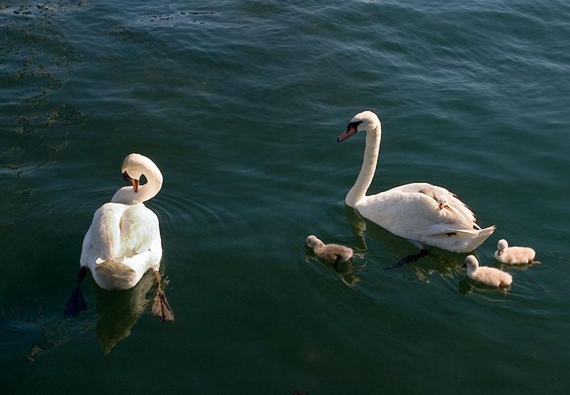 Jack swans:cygnets